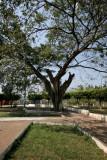 Arbol Gigante en el Parque Central