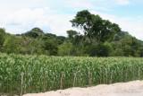 Plantacion de Maiz  a Orilla de la Ruta a la Cabecera