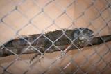 Iguana en el Pequeño Zoologico del Parque Central