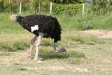 Avestruz Macho (Struthio camelus)