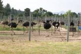 Panoramica del Area de Avestruces Adultas