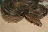 Serpiente Mazacuata (Boa constrictor imperator)