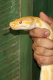 Serpiente Piton Amarilla (Python molurus bivittatus)