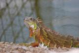 Iguana de Tierra (Conolophus subcristatus)