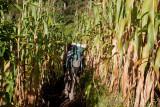 Parte del Camino se Hace Entre Plantaciones de Maiz
