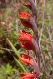 Gladiola Silvestre
