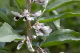Flor de la Planta de Aba