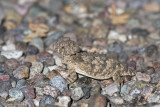 Very Young Regal Horned Lizard