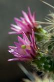 Hedgehog Cactus v2