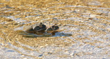Sonoran Desert Toads