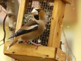Le gros bec casse noyaux - The hawfinch