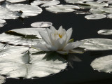 Mes nénuphars -  My waterlilies