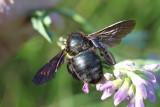 L'abeille charpentiere ( xylocopa violacea) est une grande abeille (25 à 30mm) solitaire peu agressive