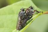 Accouplement de mouches a moustache (Dioctria rufipes) - Flies mating