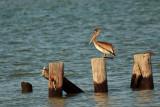 Brown Pelican at Fisherman's Island