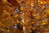 Autumn Beech at Grafton Ponds