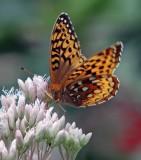 IMG_0449--papillon--200.jpg