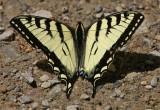 0149-papillon tigré0003-900.jpg