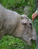 Big Sheep, Little Hand