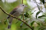 Rufus or Little Shrike Thrush