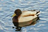Duck 30.jpg