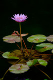Sleeping Lotus (2)