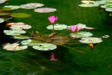Sleeping Lotus (2)