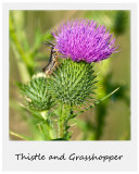 Thistle and Grasshopper