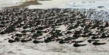 A Few Black Skimmers