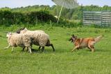tyra herding