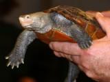 Snapping Turtle Beak