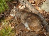 Bobcat/Lynx