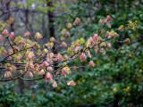 Oak Bursting