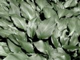 Hosta Leaves Desat
