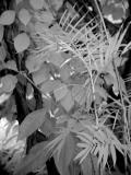 IR Leaves