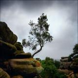 Brimham Tree.