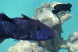 Blue Triggerfish.jpg