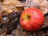 Last Apples