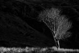Cwmorthin tree