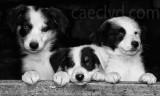 Sheep dog puppies.
