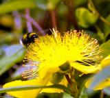 _DSC9338.jpg bee on yellow.jpg 1a.jpg