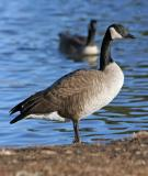 Nebraska Goose