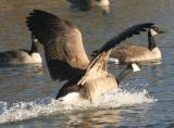 Goose Landing!