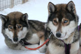 Sled Dogs Waiting and Watching