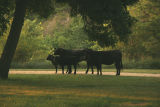 cowsincamp.jpg