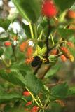 mulberrytree.jpg