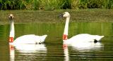 swans4.jpg