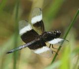 blwtdragonfly1.jpg