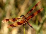 brownfly2.jpg