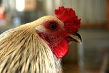rooster4.jpg